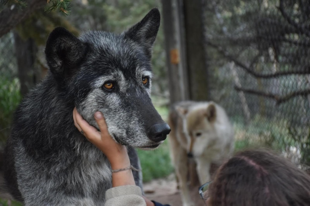 Close-up of a black and gray Canadian gray wolf, his face cupped by the hand of a visitor.