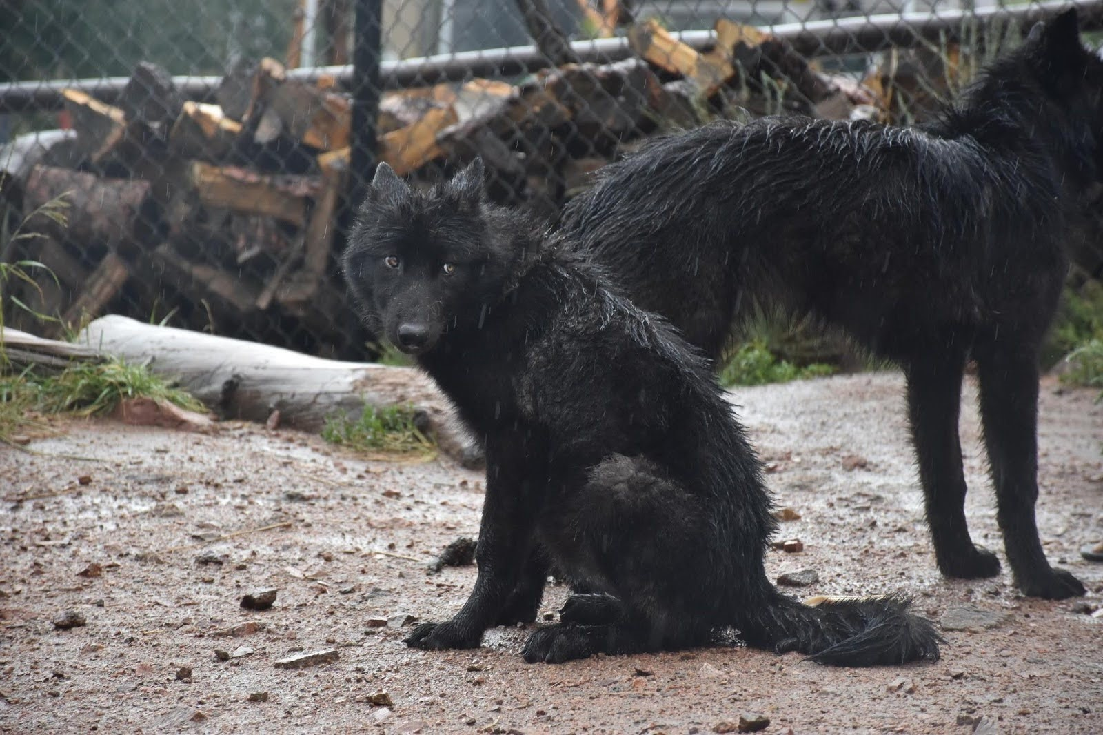 A black wolf pup looks cautiously off to the side as another black wolf stands behind her, face off-screen.